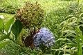 Hydrangea macrophylla 19zz.jpg