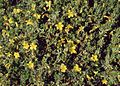 Hypericum aegypticum 2.jpg