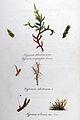 Hypnum abietinum — Flora Batava — Volume v11.jpg