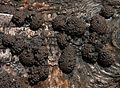 Hypoxylon - woodwart fungus - Flickr - S. Rae.jpg