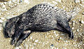 Hystrix sumatrae, the Sumatran Porcupine (12616233295).jpg