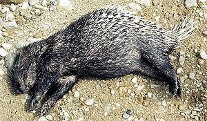 Sumatran porcupine - Sumatran porcupine killed by a truck in central Sumatra