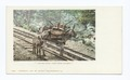 I helped build Pikes Peak Railway burro (NYPL b12647398-62235).tiff
