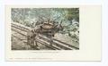 I helped build Pikes Peak Railway burro (NYPL b12647398-62235).tiff