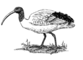 Ibis (PSF).png