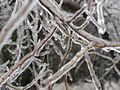 Ice on branches.jpg