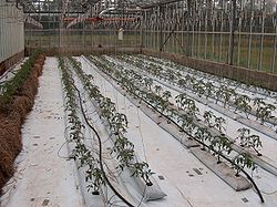 Вырашивание томатов в малых простейших теплицах.Овощеводы- любители на своих участках выращивают томаты с...