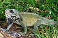 Iguana tradicional de Venezuela.jpg
