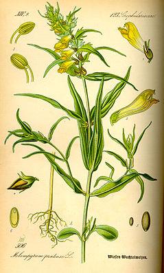 Wiesen-Wachtelweizen (Melampyrum pratense). Illustration von Otto Wilhelm Thomé