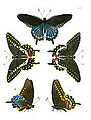 Illustrations of Exotic Entomology I 11.jpg