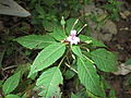 Impatiens minor-bsi-yercaud-salem-India.JPG