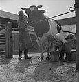 In 1938 Holland had over 1,5 million milk cows, producing on an average 1000 gal, Bestanddeelnr 935-2093.jpg