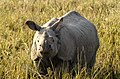 Indian Rhino in Pobitora.jpg