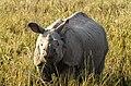 Indian Rhino in Pobitora.jpg