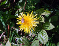 Insect and dandelion (2427841891).jpg