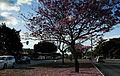 Ipê-roxo em Brasília 12.jpg