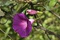 Ipomoea nil (Convolvulaceae) (24662754949).jpg
