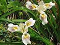 Iris Broadleigh hybrid - Flickr - peganum (3).jpg