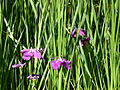 Iris au jardin Albert Kahn.JPG