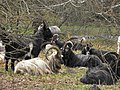 Irish goats around Glendalough - Ireland - panoramio.jpg