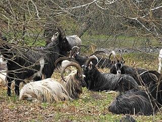 Irish goat goat breed