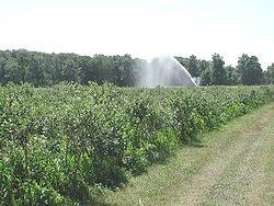 Sprinkler irrigation of blueberries in Plainville, New York