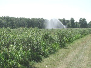 Irrigation - Sprinkler irrigation of blueberries in Plainville, New York, United States