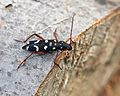 Isotomus speciosus - 3.jpg
