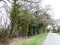 Ivy-covered trees, along Blithbury Road - geograph.org.uk - 1768725.jpg