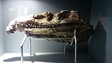 Iziko fossil crocodile head.JPG