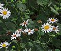J20160825-0114—Amauria rotundifolia—RPBG (29152525811).jpg