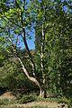 J20160926-0053—Platanus racemosa—RPBG (29346126813).jpg