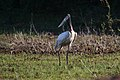 Jabiru mycteria Crooked Tree 02.JPG