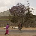 Jacaranda (5065585159).jpg