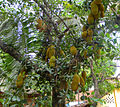 Jack fruit tree in kerala.JPG