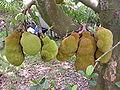 Jackfruit GoldNugget01 Asit.jpg