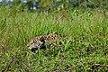 Jaguar (Panthera onca) male on the river bank ... (28876099710).jpg