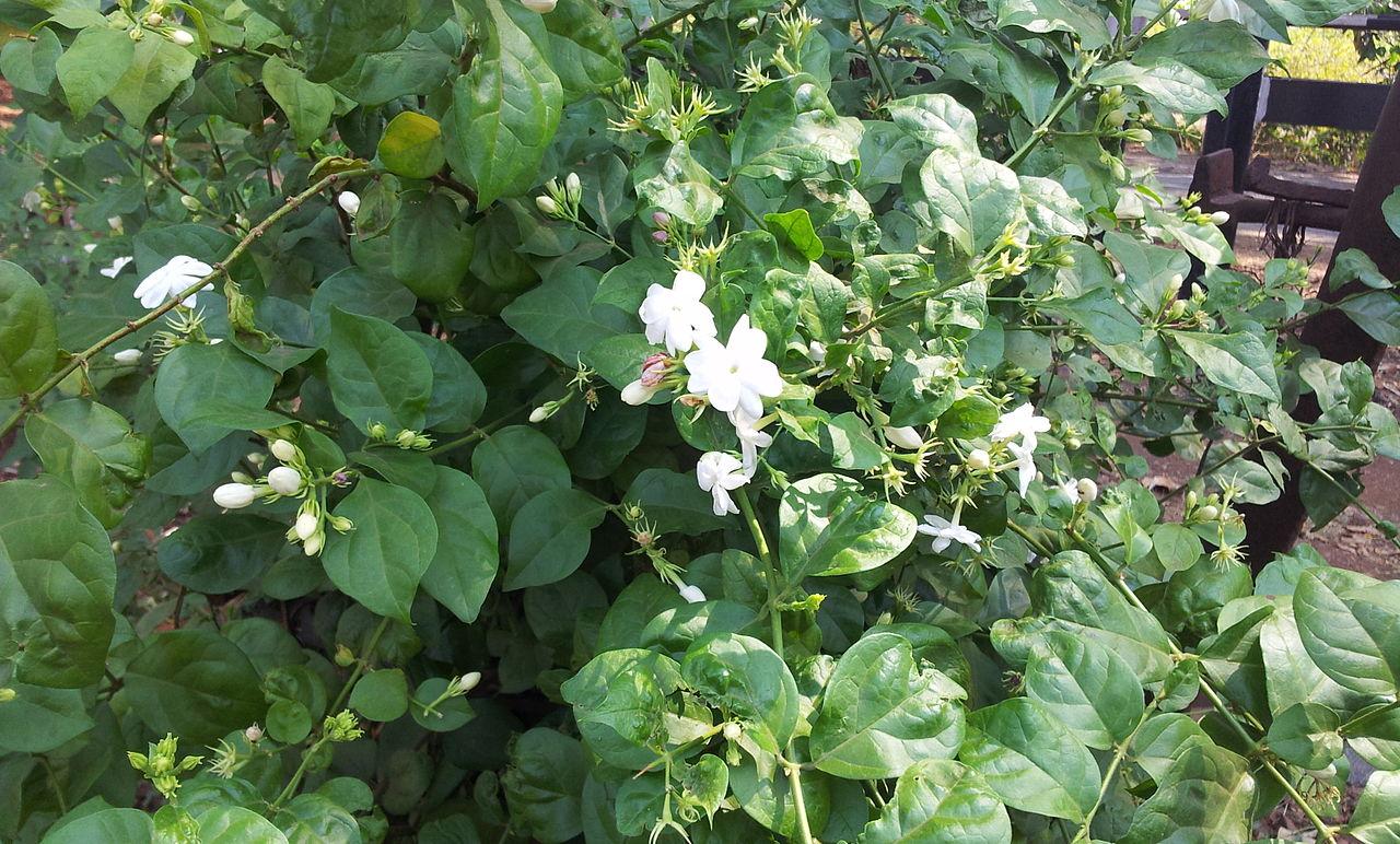 Filejasmine flower full bloom on the plant near hyderabad andhra filejasmine flower full bloom on the plant near hyderabad andhra pradesh india 02g izmirmasajfo