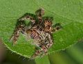 Jumping Spider (Salticidae) (13949461991).jpg