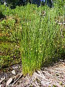 Juncus filiformis plants.jpg