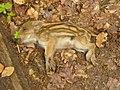 Junges Wildschwein (Young Wild Boar) - geo.hlipp.de - 36945.jpg