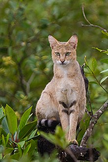 Jungle Cat on tree at Sundarban, West Bengal, India.jpg