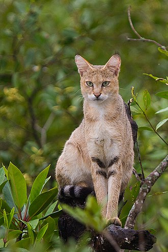 A jungle cat in the Sundarbans, India Jungle Cat on tree at Sundarban, West Bengal, India.jpg