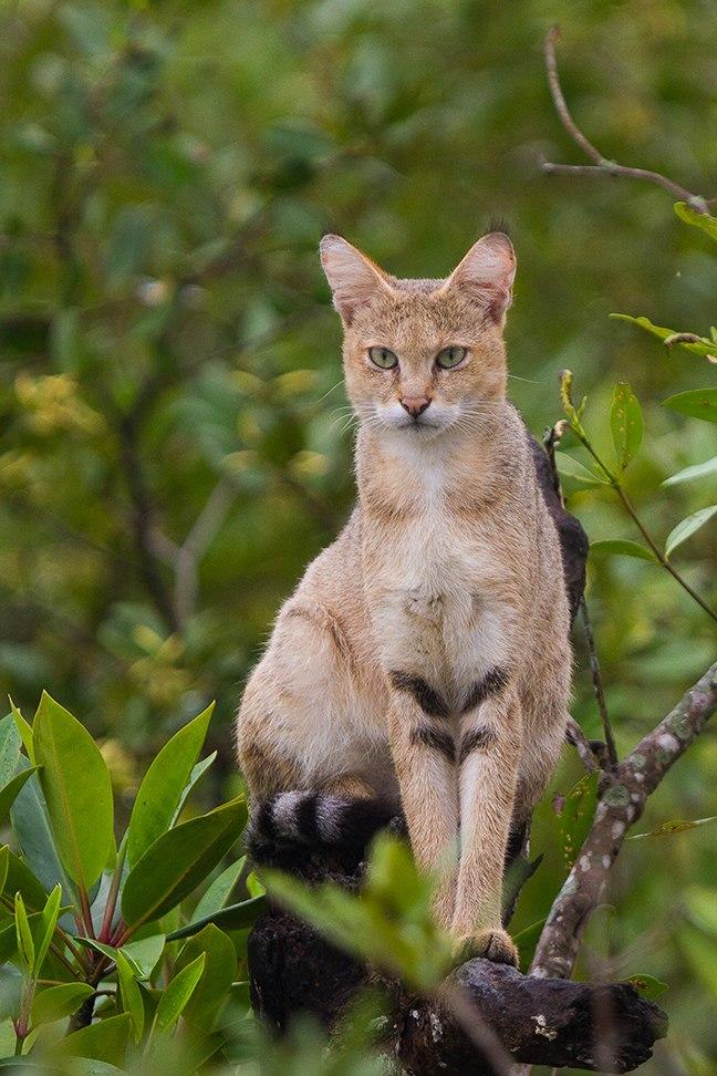 Jungle Cat on tree at Sundarban, West Bengal, India