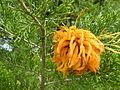 Juniper-apple rust gall.jpg