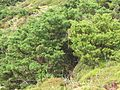Juniperus brevifolia (Habitus) 2.jpg