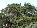Juniperus cedrus (Gran Canaria).jpg