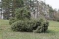 Juniperus communis TK 2021-05-01 1.jpg