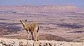 Juvenile Nubian ibex in Mitzpe Ramon (40403)a.jpg