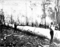 Karri crosscutting in Primer of Forestry Poole 1922.png